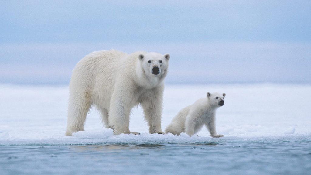 Потепление климата ставит под угрозу выживание белых медведей