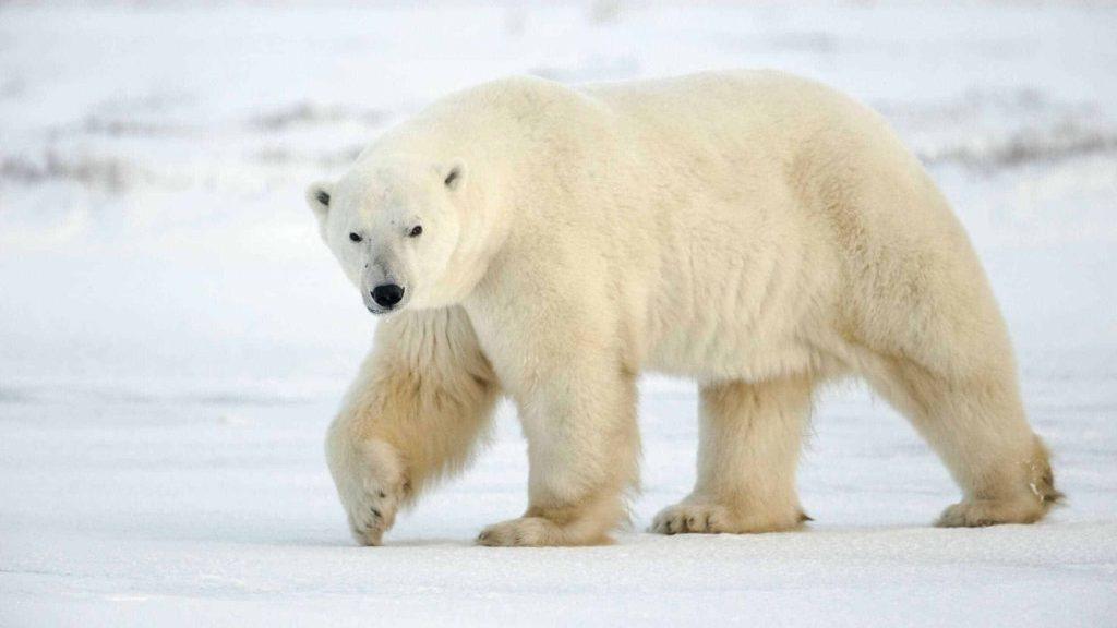 На самом деле шерсть белых медведей имеет прозрачный цвет