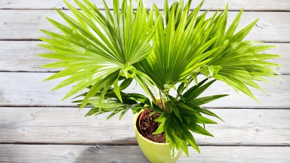 Домашние растения похожие на пальму